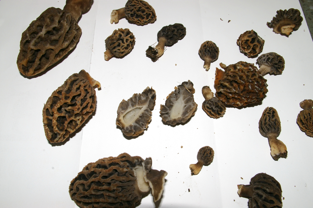 morel-cross-section